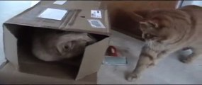Emery cat scratching board, cats playing with cardboard box, catnip, cats boxing