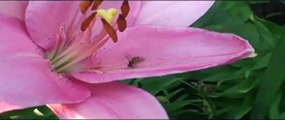 Eating Pollen ( Hover Fly )