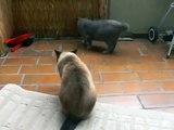 Cat fight Bkh vs. Siam ( Britishshhorthair vs. Siam) Katzenkampf Britischkurzhaar gegen Siam