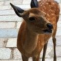 Hilarious screaming deer in Nara, Japan