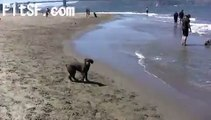 Leo the Spanish Water Dog Puppy Learns How to Fetch A ball