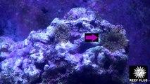 reef pests / majano anemone