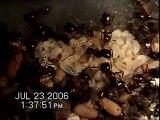 Wood Ants(Formica lugubris), Amazon Ants (Polyergus breviceps) Black Ants (Formica argentea)