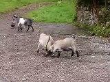 Goats headbanging
