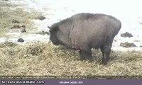 Mały żuberek / Baby Bison, Bialowieza Forest, Poland
