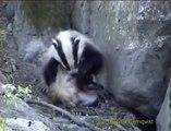 GRÄVLING Badger (Meles meles)  Klipp - 68