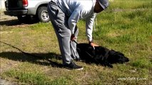 Cali K9 Dog Training San Jose - Tracking & Scent Work Detection - IPO Dog Training #calik9
