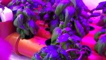 Tilapia farming with Aquaponics