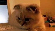 Furball Staring Contest (Scottish Fold Kitten)