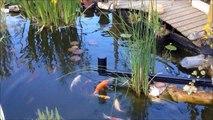 Le bassin de mymy et ses carpes koï au repas