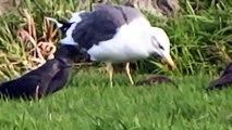 Lesser Black-backed Gull eats Starling / Kleine Mantelmeeuw eet spreeuw (Larus Graellsii)