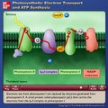 Photosynthetic Electron Transport and ATP Synthesis