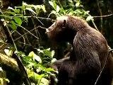 Primate Safari Africa, Kibale Chimpanzee Trekking, Chimp Tracking in Uganda