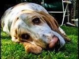 Basset Hounds Puppies - by Eduardo Durán Haedo -
