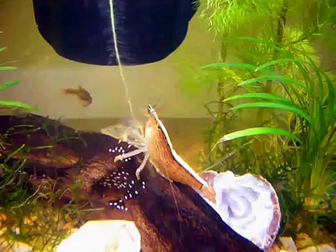 Bamboo Shrimp (aka Wood Shrimp) Filtering