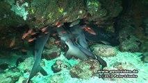 Galapagos Tauchen der Superlative!!!  Galapagos - Incredible diving!!!  (HD) Peter Löseke