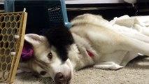 Une petite chatte terrifiée à l'idée de passer une nuit dans son nouveau foyer se rassure dans les pattes du husky.