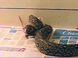 Boa constrictor Occidentalis comiendo rata
