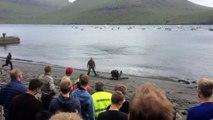 Le grind, massacre de dauphins aux Iles Féroe