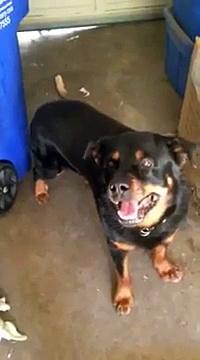 Sambo The Rottweiler