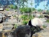 pandas at adelaide zoo (wang wang and funi with dream sequence)