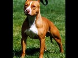 Os incríveis Pit Bulls. The American Pit Bull Terrier.
