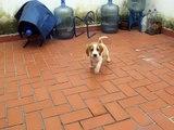 Robi Draco Rosa, 2 Meses, Beagle Limón