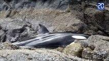 Une orque échouée sauvée par des passants