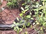 Anaconda, Kabalebo river (Suriname)