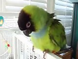 Banana-San The Dancing Parrot ( Nanday Conure )