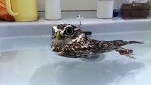 Une petite chouette flotte dans son bain - Trop mignon