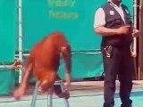 Orangutan does magic tricks and it's hilarious
