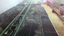 Unité Matérnité d'elevage lapins - Cuniculture Maroc - Cages pour élevage lapins