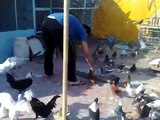 Pigeons Azedine Maazane 0670261360 Casablanca Maroc