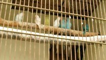 INDIAN RING NECKED PARAKEETS DIFFERENT MUTATIONS OF SYED OVAIS BILGRAMI