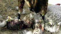 When Crazy Animals Attack Falcon Attacks Dog ~ Best Funny Animals 20141 [ My Pets Funny ]