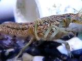 Marbled Crayfish Egg Development v1
