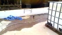 الصقر الاسخم - صقر الغروب Falco concolor - Sooty Falcon