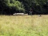 Chiot berger australien : 2éme mise au troupeau