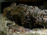 How to Care for Gecko Lizards : Caring for Multiple Gecko Lizards