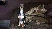 Singing dog, russian toy terrier (Поющая собака, русский той терьер)