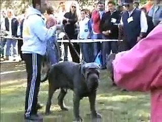 Neapolitan Mastiff Resource | Learn About, Share and Discuss