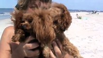 CHLOE AND LOLA,AMAZING TINY,TOY POODLES......new beach...Ocean City,NJ.