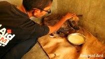 Un chien malade recueillit et soigné subi une incroyable transformation.