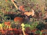 Cerf Elaphe - Brâme du Cerf - Automne 2012 (avec passage de sangliers) - Red Deer