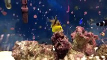 Aquatic analysis: pajama cardinal fish