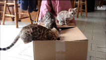 Bengal Kittens and a box. How fun can that really be?