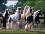 Gypsy vanner horses and andalusians