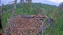 Un aigle essaie de se poser dans son nid... Oups, raté!