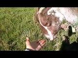 Curly Sue the American LaMancha goat